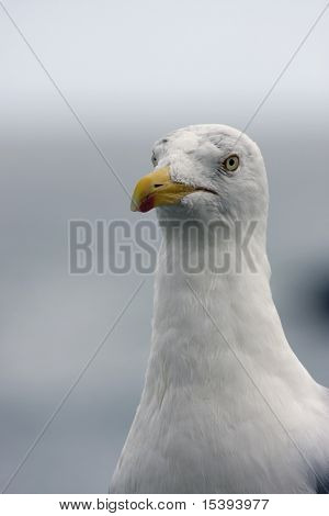 portrait of a wild seagull