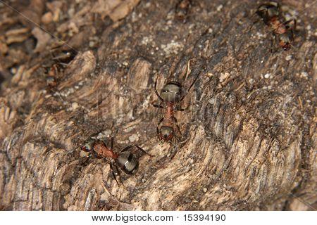 Southern Wood Ants (Formica rufa)