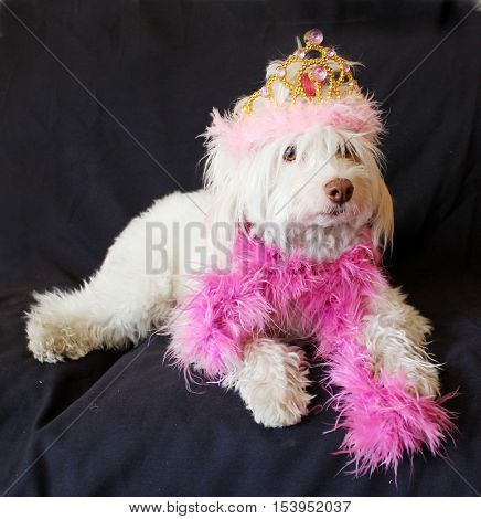 A beautiful Bichon Frise dog, wears a Gold and Pink Tierra and a Shocking Pink Feather Boa while sitting on a black background at a Doggie Fashion Photo Shoot.