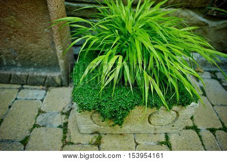 palm dracaena in a tub on the background of stone walls, paving stones