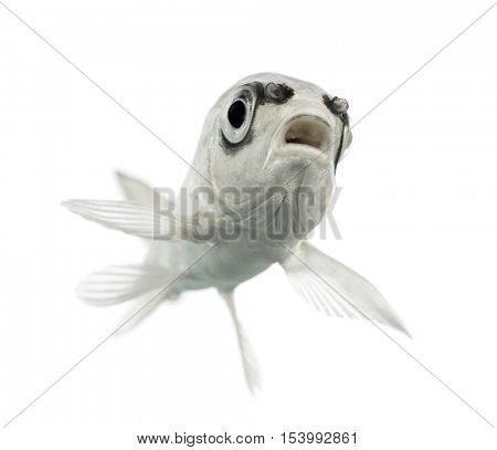 bottom view of a  grey Koi mouth open isolated on white