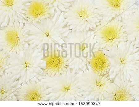 Beautiful white aster flowers for holiday background