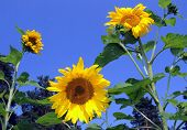 Three Large Sunflower Against Blue Sky Close Up