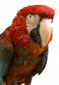 foto of polly  - A scarlet Parrot isolated on a white background  - JPG