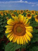 Sunflower Crop poster