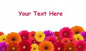 foto of daisy flower  - Daisy flower background - JPG
