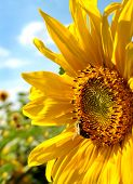 stock photo of heliotrope  - Sunflowers in field  - JPG