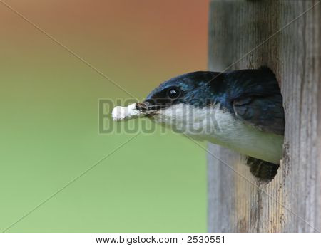 Tree Swallow In A Bird House