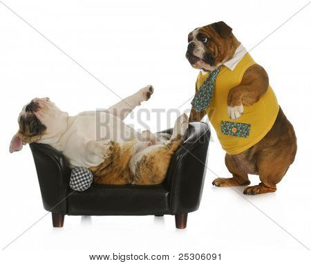 dog psychology - bulldog standing looking at another laying on a couch with reflection on white background