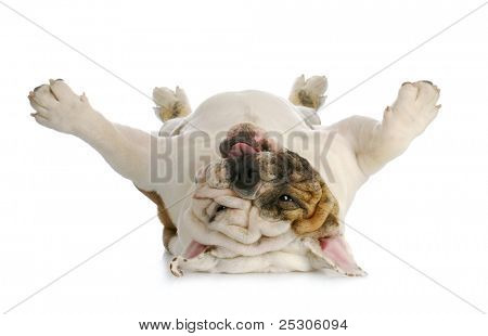 dog upside down -  english bulldog laying upside down with reflection on white background