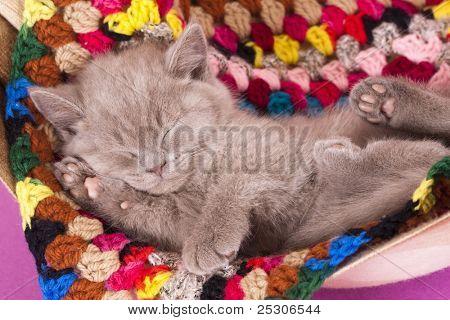 British kitten rare color (lilac)  sleeping