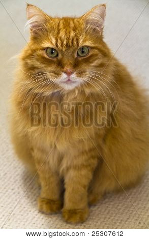Male Ginger Longhaired Cat Sitting