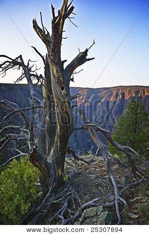 Dead Cedar on Canyon Rim