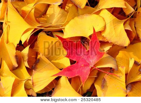 Just be the one, red maple leaf