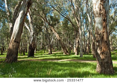 Path in the RiverRed  Gum Forest