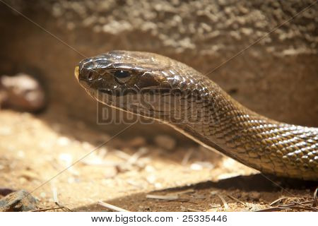 Inland Taipan, Most Poisonous Snake