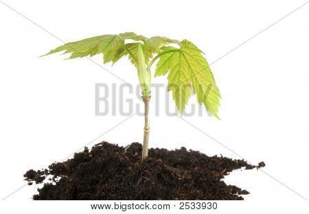 Sycamore Sapling Isolated
