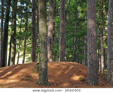 Indian burial mound surrounded by red pine trees