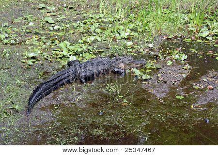 Jacaré no Okefenokee Swamp