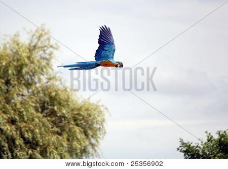 Ara Macaw Flying