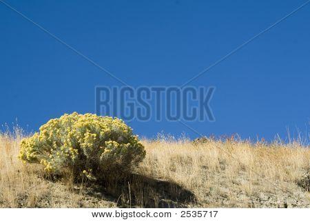 Sage Brush