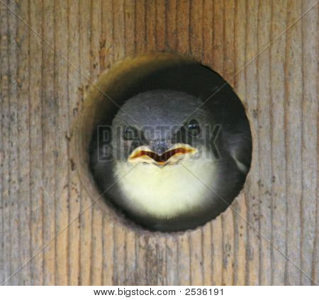 Baby Tree Swallow (Tachycineta Bicolor)