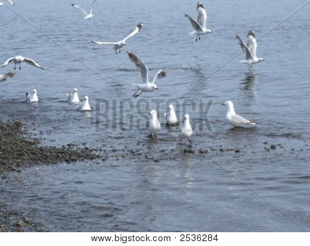 Seagulls On The Petone Foreshore