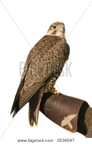 Peregrine Falcon Crossbred Merlin Over White
