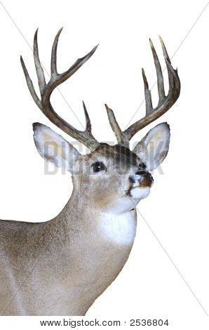 Whitetail Buck Isolated On Black