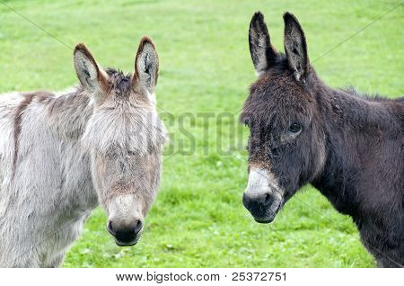 Two donkeys looking at you
