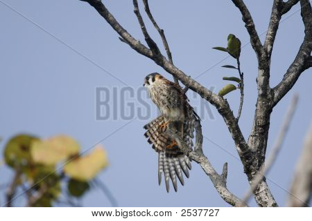 American Kestrel Streching Her Wings