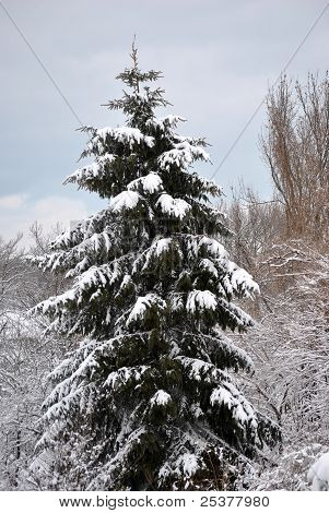 Single Snow Capped Green Pine Tree