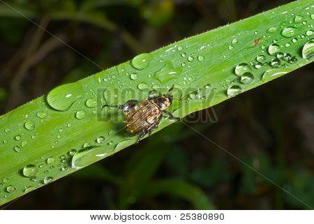 Käfer auf Gras-Klinge