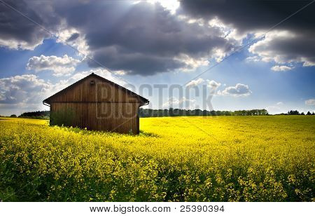 Blooming rapeseed field (lat. Brassica napus) with shed