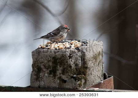 Acanthis Flammea, Redpoll.