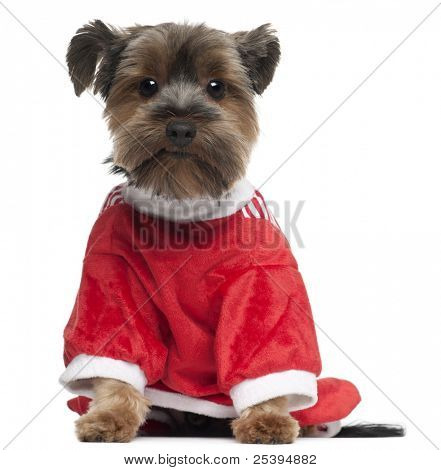 Yorkshire Terrier wearing red, 2 years old, sitting in front of white background