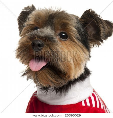Close-up of Yorkshire Terrier con rojo, 2 años de edad, frente a fondo blanco