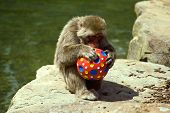 Macaque With Ball