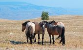 Small Herd Of Wild Horses On Sykes Ridge In The Pryor Mountains Wild Horse Range In Montana United S poster