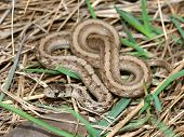 foto of winnebago  - A Brown Snake  - JPG