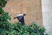 Grey Raven Flying In Wild Wildlife Fear Wildlife Soaring Bird poster