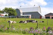picture of dairy barn  - Dairy cows laying out in front of a barn in a farm field - JPG