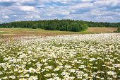 Spring Landscape With Flowering Flowers On Meadow. White Chamomile Blossom On Field. Summer View Of  poster