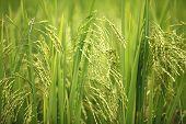 Постер, плакат: Зеленые рисовые