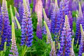 Lupinus Field With Pink Purple And Blue Flowers. A Field Of Lupines. Violet And Pink Lupin In Meadow poster