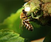 A Beautiful Western Honey Bee Sitting And Pollinating Of Bloom Of Raspberry. View Is From Side For B poster
