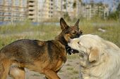 Dogs Play With Each Other. Labrador Retriever. Merry Fuss Puppies. Aggressive Dog. Training Of Dogs. poster
