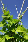 foto of green bean  - Green beans plants in agricultural land - JPG