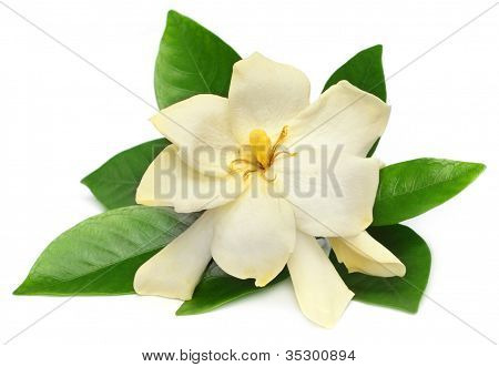 Gardenia or Gondhoraj flower