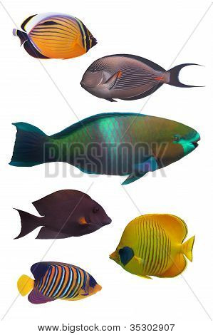 coral fish isolated